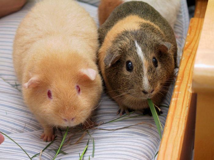 Морские свинки. Фото: Carlosar/commons.wikimedia.org