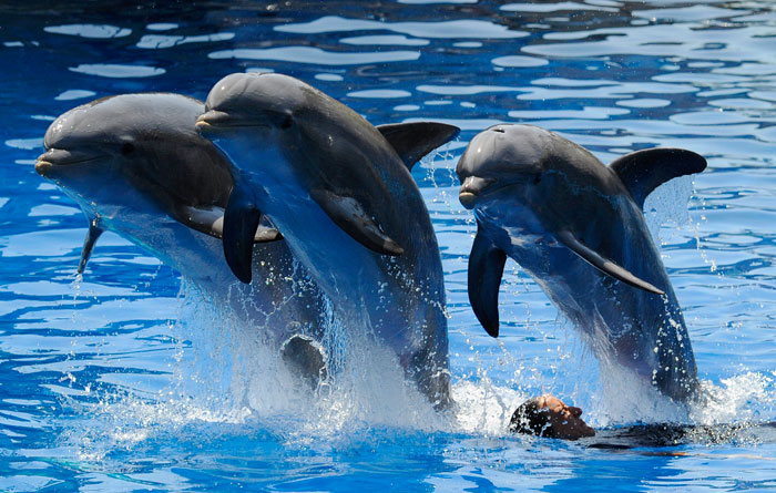 Шоу дельфинов в Мадридском зоопарке, Испания. Фото: DOMINIQUE FAGET/AFP/Getty Images