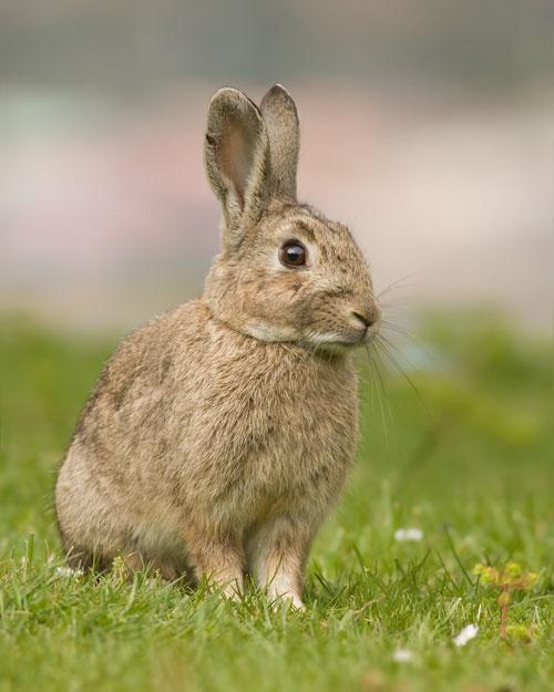 Кролики отличаются от зайцев тем, что их детёныши обычно рождаются слепыми и голыми и выращиваются в норах. Живёт кролик в среднем около 10 лет. На данный момент насчитывается около 200 пород, из которых только около 20 разводят в нашей стране. Фото: JJarrison/commons.wikimedia.org
