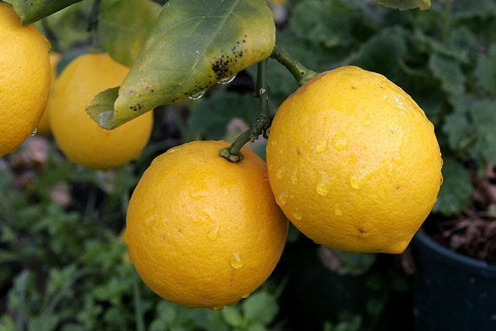 Спелые лимоны. Фото: Fir0002/commons.wikimedia.org