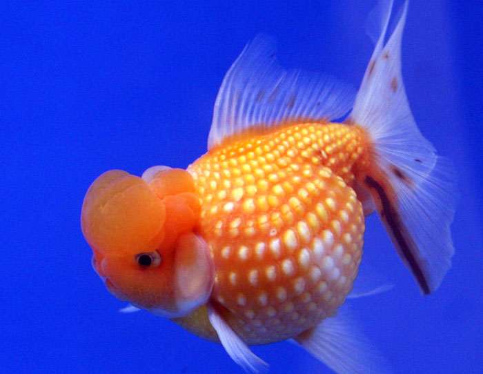 Жемчужинка — одна из искусственно культивированных декоративных пород аквариумной «золотой рыбки», отличающаяся необычной формой чешуек, напоминающих жемчуг.  Фото: Lerdsuwa/commons.wikimedia.org
