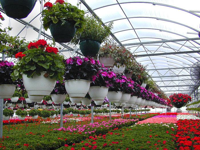Выращивание цветов на цветоводческом предприятии. Фото: James Locke/commons.wikimedia.org