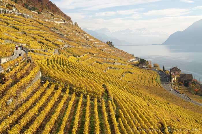 Террасовые виноградники Лаво в Швейцарии растянулись вдоль побережья Женевского озера. Фото: Dominique Schreckling/flickr.com
