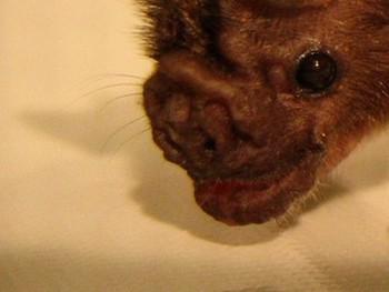 В Перу атаке вампировых летучих мышей, зараженных бешенством, подверглись более 500 человек. Фото с heylittlebat.blogspot.com