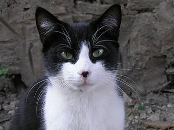 Старый кот запугал британских почтальонов. Фото пользователя Orlovic с wikipedia.org