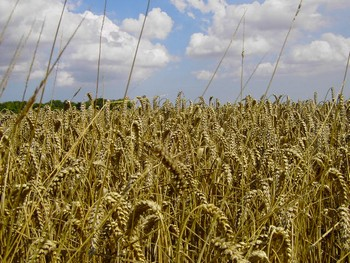 Российская засуха подняла цены на зерно. Фото: celsias.com