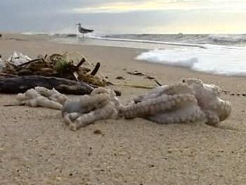 Мертвые осьминоги на португальском пляже. Кадр BBC