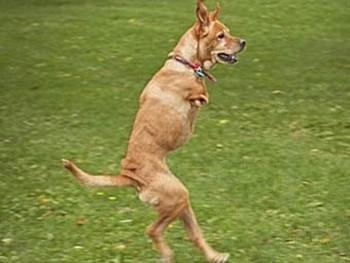 Двулапая собака по кличке Фэйт стала сержантом американской армии. Кадр видеозаписи с The Daily Mail