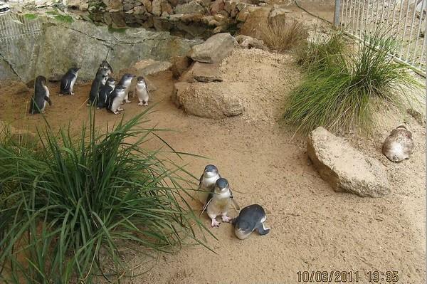 Колонии малых пингвинов играют в пингвином Центре на Гранитном острове. Фото предоставлено парком Granite Island Recreation and Nature Park