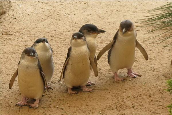 Группа из пяти малых пингвинов прогуливается по Гранитному острову. Фото предоставлено парком Granite Island Recreation and Nature Park