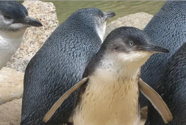 Группа малых пингвинов играет возле воды на Гранитном острове. Фото предоставлено парком Granite Island Recreation and Nature Park