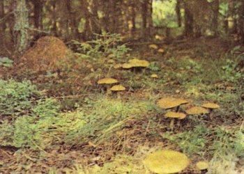 Массовая гибель грибников в Италии: 17 жертв за 9 дней. Фото с сайта gribochek.su