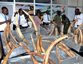 Интерпол нанёс удар по торговле слоновой костью в Африке.  Фото:  PETER BUSOMOKE/AFP/GettyImages