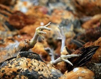 Массовая гибель птиц произошла в Италии и  Швеции. Фото:  Photos/Getty Images