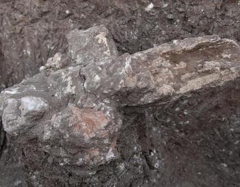 Только что найденный зуб гиппопотама. Фото с сайта theepochtimes.com