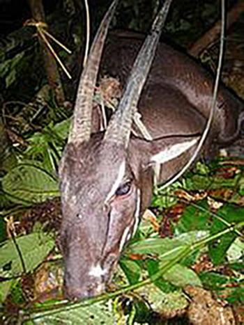 Азиатский единорог: жители лаосской деревни в августе поймали двурогую антилопу саола и сфотографировали еe. Фото с сайта  theepochtimes.com