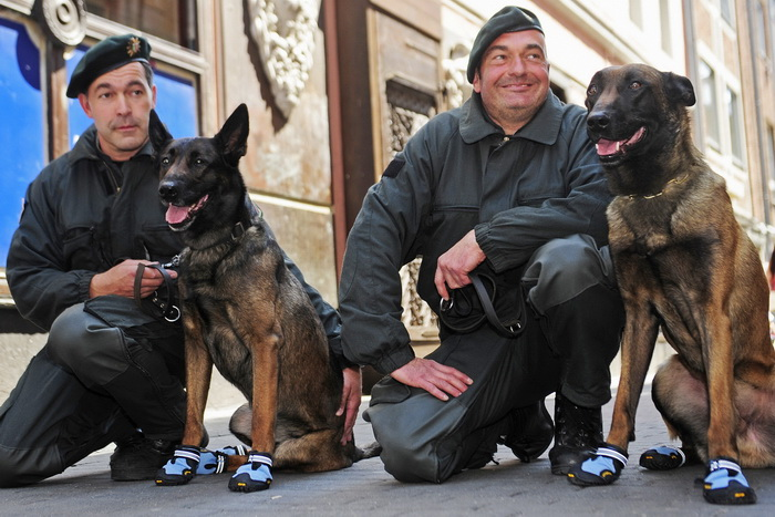 Полицейские собаки города Бремен учатся носить обувь. Фото: CLEMENS BILAN/AFP/Getty Images
