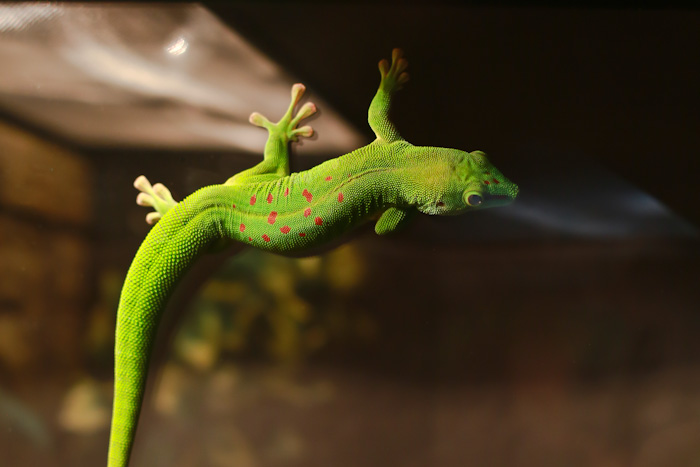 Дневной геккон. Выставка экзотических животных в Рязани. Фото: Сергей Лучезарный/Великая Эпоха (The Epoch Times)