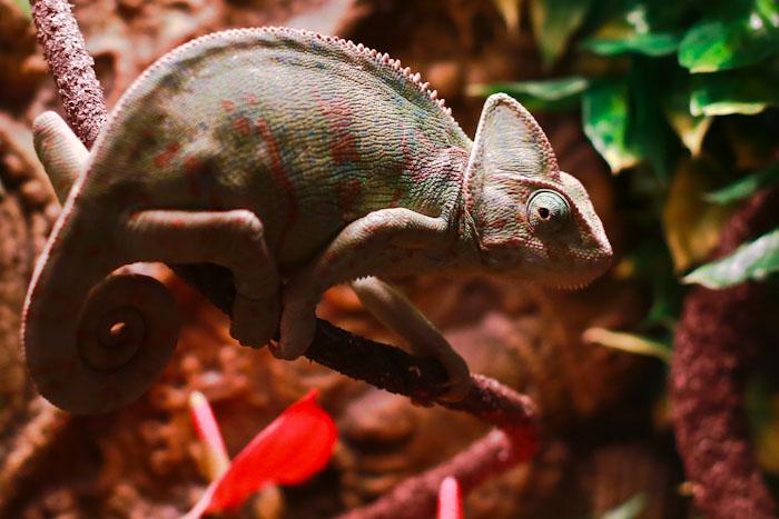Хамелеон. Выставка экзотических животных в Рязани. Фото: Сергей Лучезарный/Великая Эпоха (The Epoch Times)