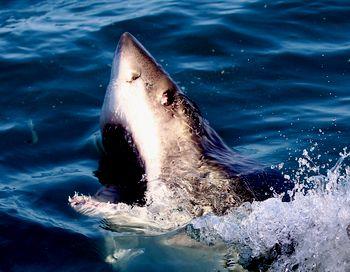 В среду, 30 ноября, акула искалечила  двоих россиянок, отдыхавших на Шарм-эль-Шейхе,  одна из которых лишилась руки, а другая  потеряла ногу. Фото: Ryan Pierse /Getty Images