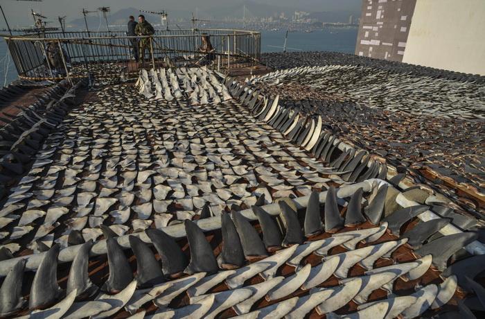 Сушка на солнце акульих плавников на крыше здания фабрики в Гонконге, 2 января 2013 года. Гонконг является одним из крупнейших рынков в мире по сбыту акульих плавников. Фото: ANTONY DICKSON/AFP/Getty Images