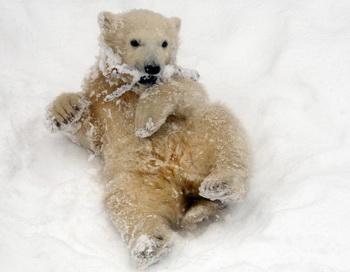 Детеныш белого медведя из финского зоопарка вызвал наплыв посетителей. Фото: AFP/Getty Images