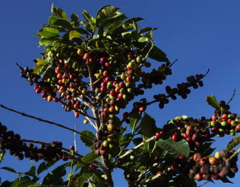 Кофейное дерево.Фото:David Silverman/Getty Images News