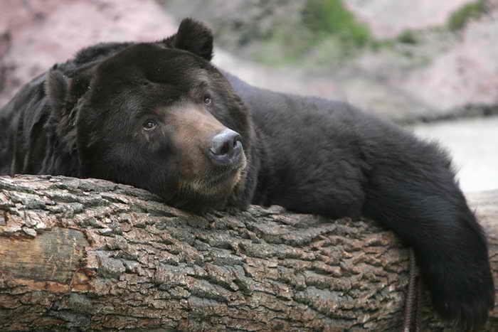 Охотникам пришлось застрелить медведя, вышедшего к детскому лагерю в Красноярском крае. Фото: DENIS SINYAKOV/AFP/Getty Images