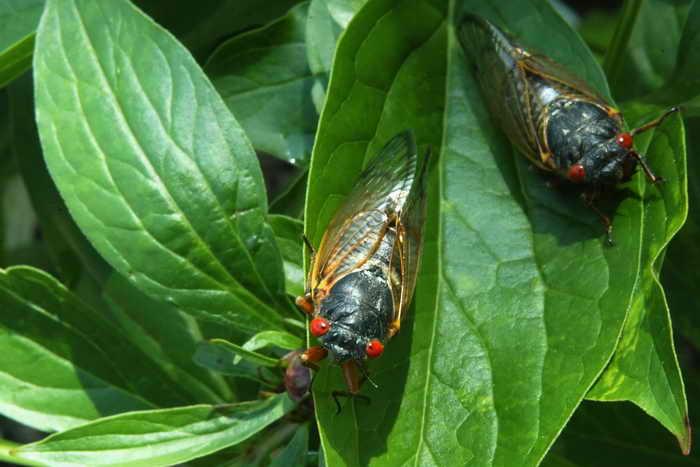 Крупнейшее нашествие цикад ожидается на Восточном побережье США. Фото: Alex Wong/Getty Images