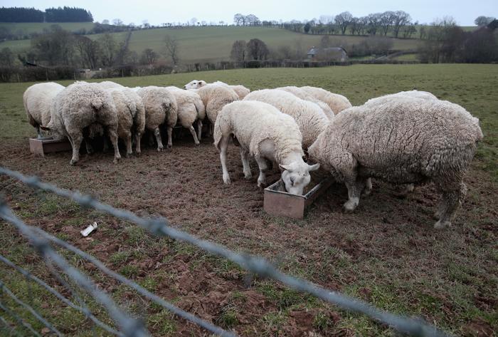 Холода создали сложные условия для валийских фермеров. Фото: Chris Jackson / Getty Images