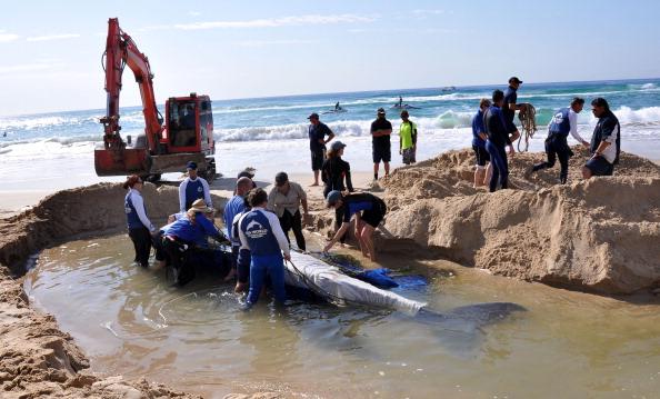 Фоторепортаж о спасательной операции. Фото: SeaWorld Australia via Getty Images детеныша  горбатого кита