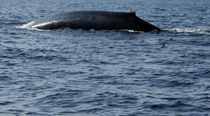 Голубые киты. Фото:  Ishara S.KODIKARA/AFP/Getty Images