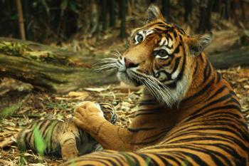 Тигры. Фото:  Mark Kolbe/Getty Images