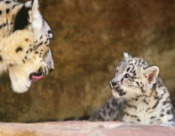 Зоопарк Цюриха радуется появлению потомства у снежных барсов Фото: Getty Imeges