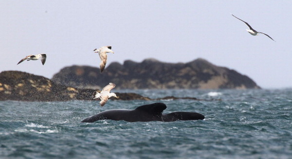 Фоторепортаж о спасательной операции дельфинов, выбрасывающихся на берег. Фото: Jeff J Mitchell/Getty Images