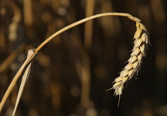 Этой зимой в США и в России сильно пострадали посевы озимых. Фото: Sean Gallup/Getty Images