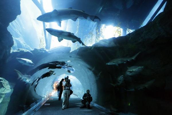 Акулы в басейне торгового центра Dubai Mall в Арабских Эмиратах. Фото: KARIM SAHIB/AFP/Getty Images