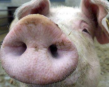 Забиение свиньи стоило жизни румыну. Фото: stern.de
