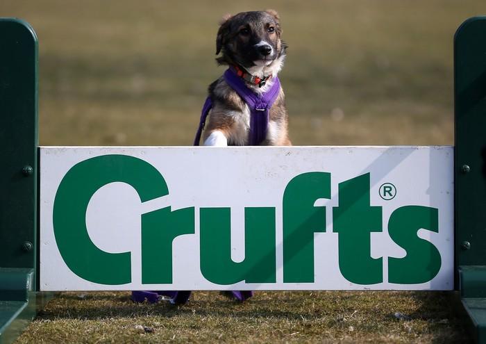 В Бирмингеме, Великобритания, готовятся к всемирно известной выставке собак Crufts, которая состоится с 7 по 10 марта 2013. Фото: Christopher Furlong/Getty Images
