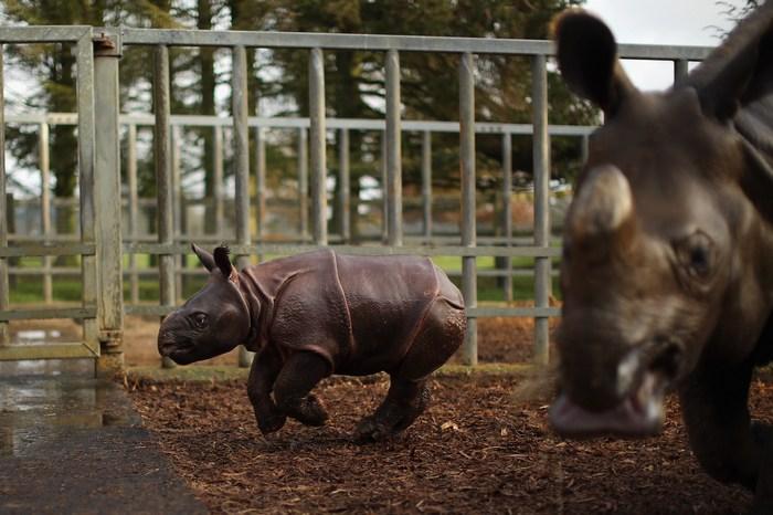 Четырёхнедельный носорог Джалиль впервые показался публике 8 января 2013 г. в зоопарке Уипснейд, Англия. Фото: by Dan Kitwood/Getty Images