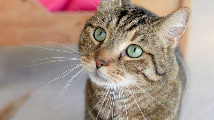 Полосатый кот Феликс прошёл 240 км из Брауншвайга до Берлина. Фото: augsburger-allgemeine.de
