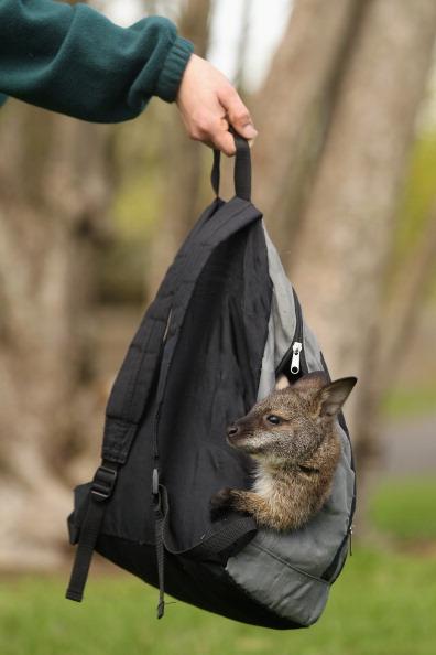 Семимесячная кенгуру Бенетта в рюкзачке, заменяющем ей дом. Фоторепортаж. Фото: Oli Scarff/Getty Images