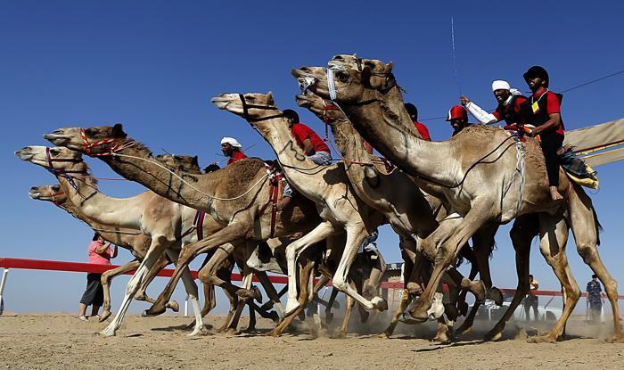 Фестиваль верблюдов Mazayin Dhafra Camel Festival в ОАЭ. Фото: KARIM SAHIB/AFP/Getty Images