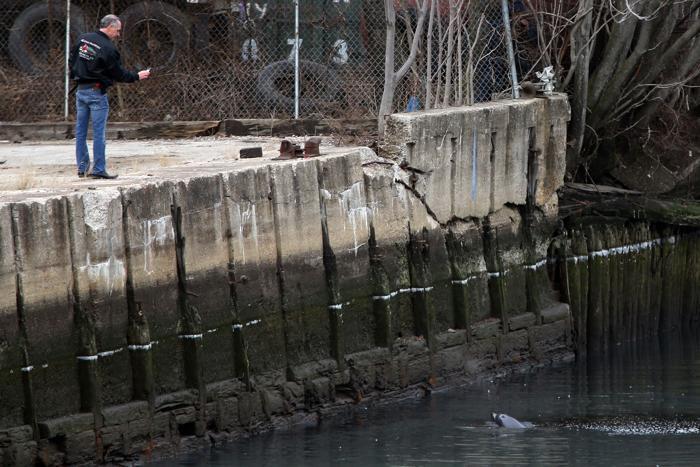 Дельфин борется за жизнь в канале сточных вод Бруклина, США, 25 января 2013 года. Фото: Michael Heiman/Getty Images