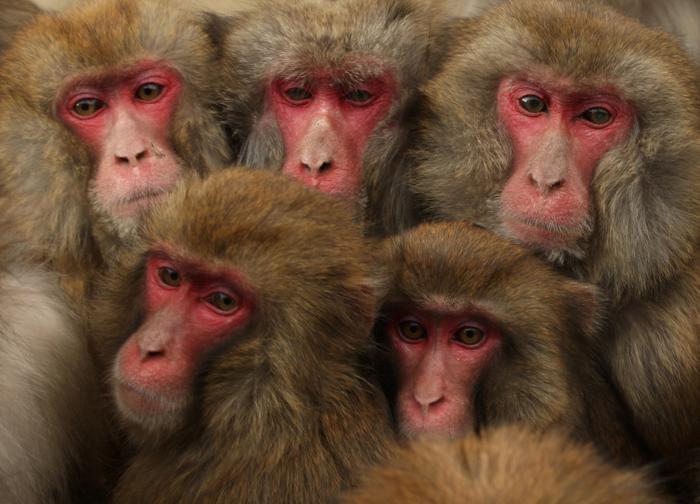 Японские макаки ютятся в группах, чтобы согреться в Обезьяна-центре Awajishima, префектура Хего, Япония, 26 января 2013 года. Фото: Buddhika Weerasinghe/Getty Images