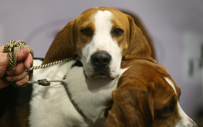 Две новые породы собак показали на пресс-конференции в Нью-Йорке, 28 января 2013 года. Фото: Mario Tama / Getty Images