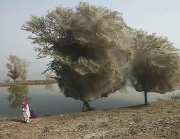 Деревья, оплетенные в кокон паутины в Синде (Пакистан) в декабре 2010. Фото: Russell Watkins/Department for International Development