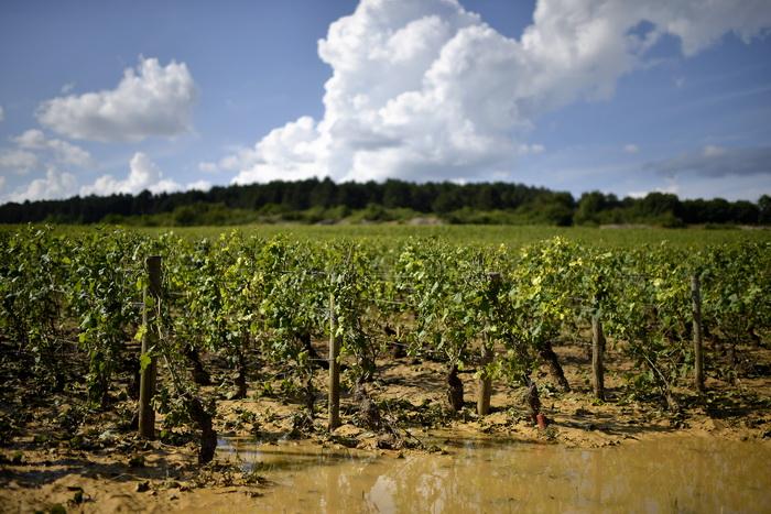 Виноделы Бургундии терпят убытки из-за природных катаклизмов. Фото: JEFF PACHOUD/AFP/Getty Images