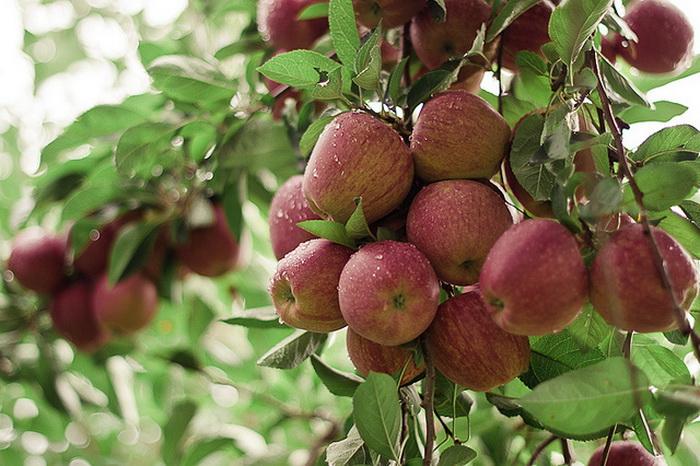 Употребление фруктов снижает потребность в сладком. Фото: erin/flickr.com