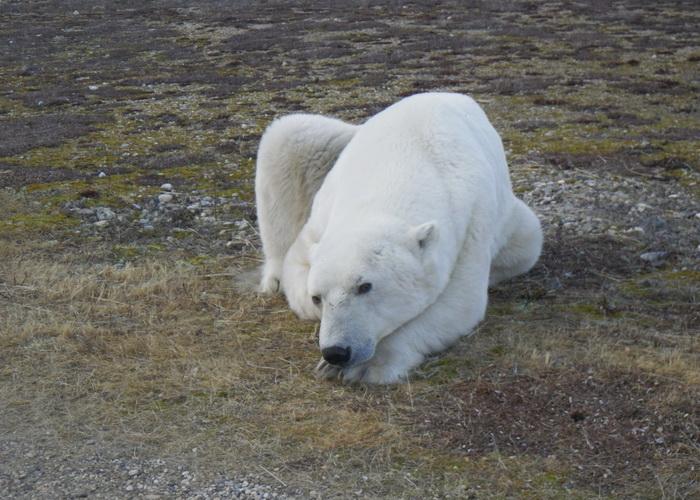 Белый медведь. Фото: Martin Lopatka/flickr.com